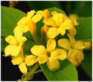 yellow inflorescence of Daphne gemmata also known as Wikstroemia gemmata, 'juwelenbesetzter-Seidelbast'