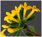Daphne aurantiaca var. calcicola, close-up of golden-yellow flowers, 'orange-farbener Seidelbast'